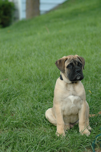 bullmastiff7.jpg - Bullmastiff - Dog Breeds