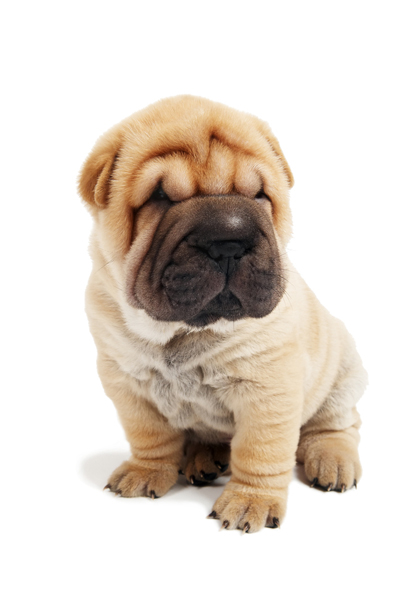 Breed: Chinese Shar-Pei