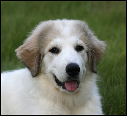 Great Pyrenees Puppies on Ellie   Great Pyrenees   Dog Breeds
