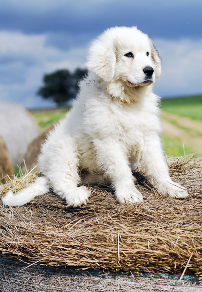 great-pyrenees3.jpg - Great Pyrenees - Dog Breeds