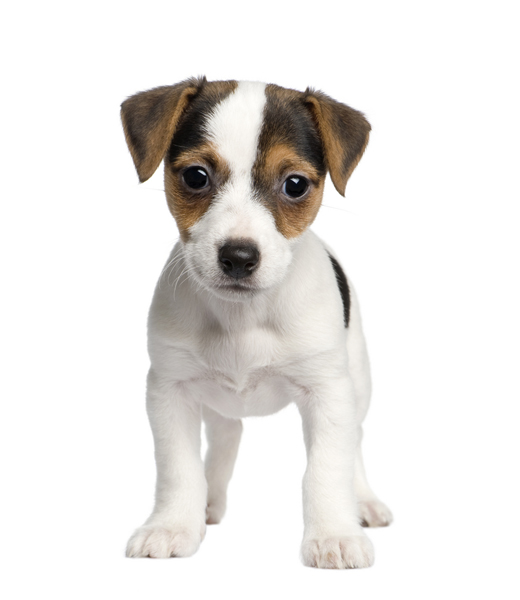 jack russell terrier mixed breeds - photo #15