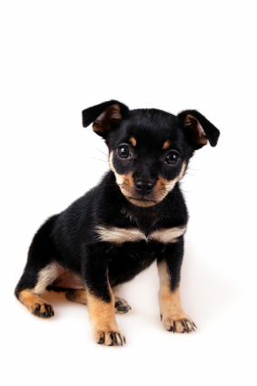 Miniature Pinscher Puppies on Miniature Pinscher Puppy Jpg   Miniature Pinscher   Dog Breeds