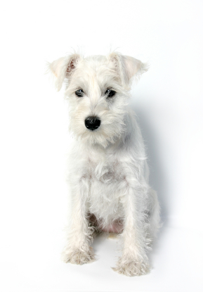 Miniature Schnauzer Puppies on Miniature Schnauzer Puppy 3 Jpg   Miniature Schnauzer   Dog Breeds