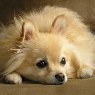 Puppies on Bonzo   Pomeranian   Dog Breeds