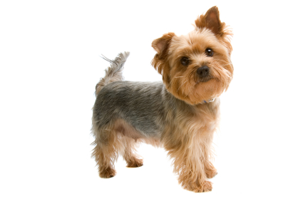 istock_000005270808xsmall.jpg - Yorkshire Terrier - Dog Breeds