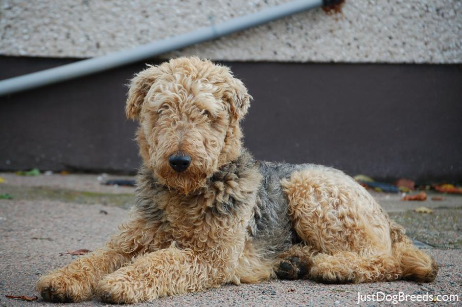 Pluto  Airedale Terrier  Dog Breeds