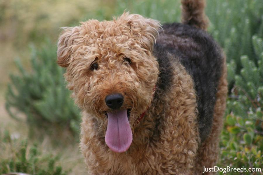 Giant Dog Breeds Terrier Pictures to Pin on Pinterest  PinsDaddy