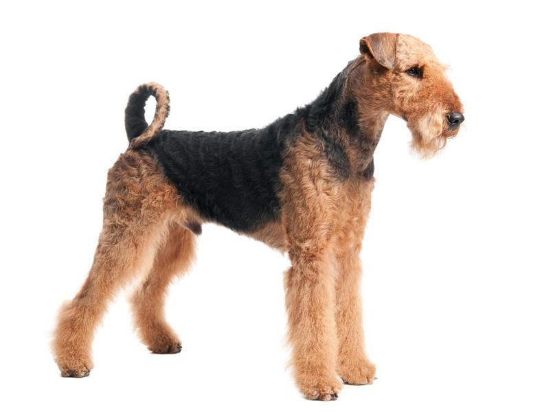 airedaleterrier3.jpg  Airedale Terrier  Dog Breeds