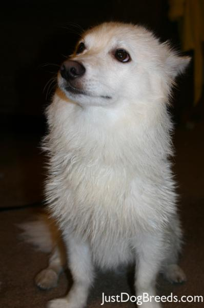 ... Feather Nascar Rocky - American Eskimo Dog (Standard) - Dog Breeds
