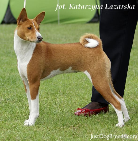 Fastest Small Dog Breeds