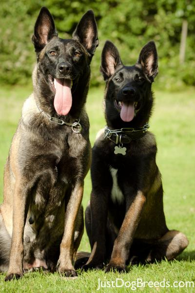 Shadow And Ozzy Belgian Malinois Dog Breeds