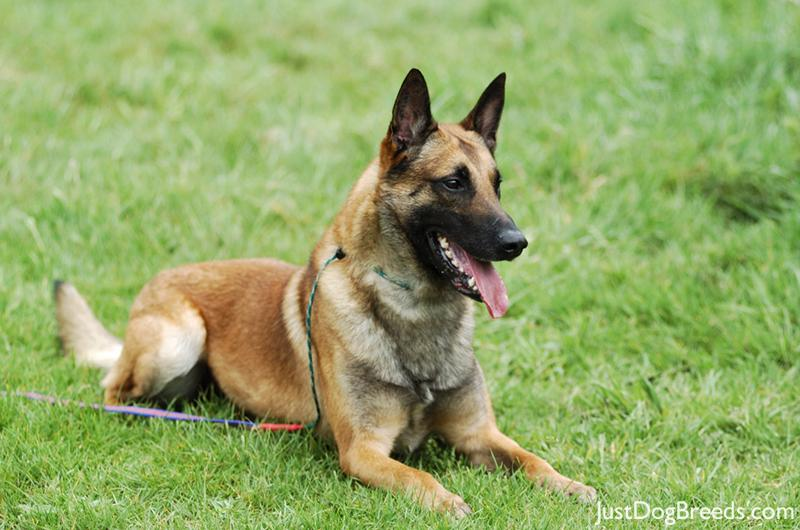 Belgian Malinois Dog Breed: Diligent Working Dog | New Dog World