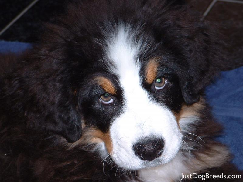 .com/photos/dog-breeds/bernese-mountain-dog/bernese-mountain-dog-53