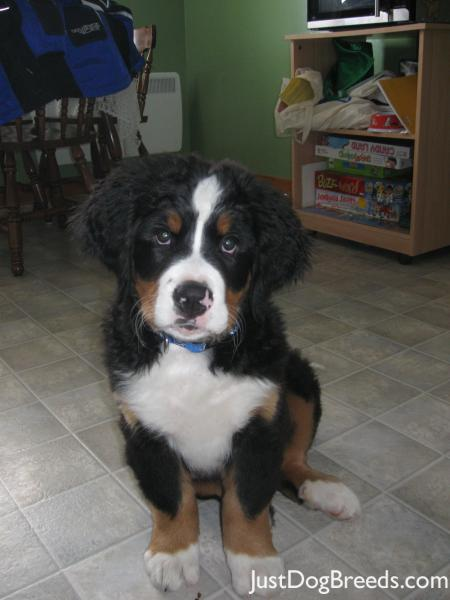 .com/photos/dog-breeds/bernese-mountain-dog/bernese-mountain-dog-43
