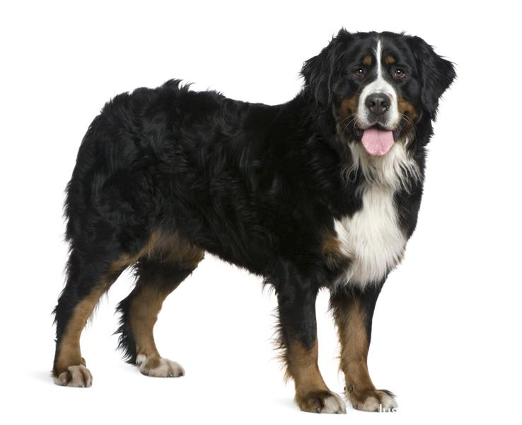 Smartest Medium Dog Breeds List
