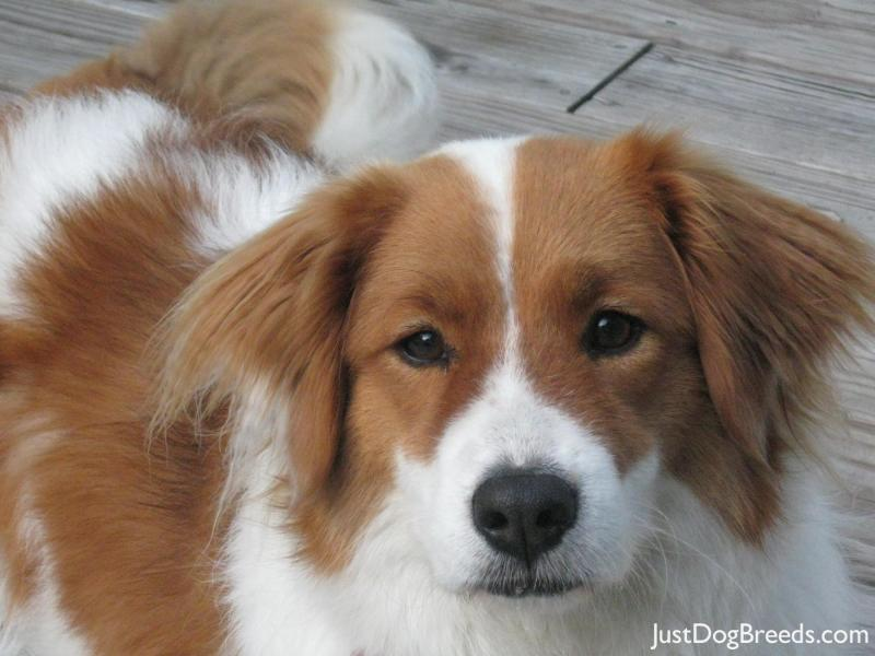 APRIL - Border Collie - Dog Breeds