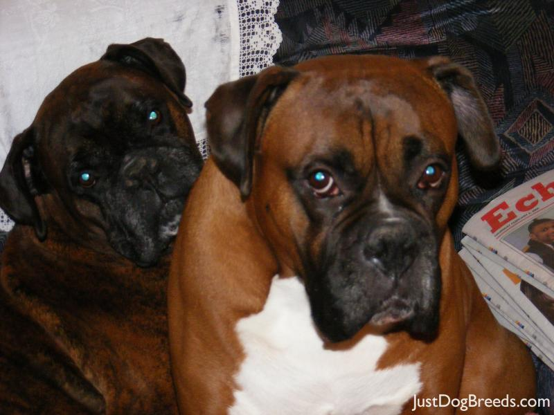 Henry And Oscar Boxer Dog