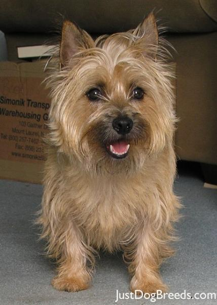 Lily - Cairn Terrier - Dog Breeds