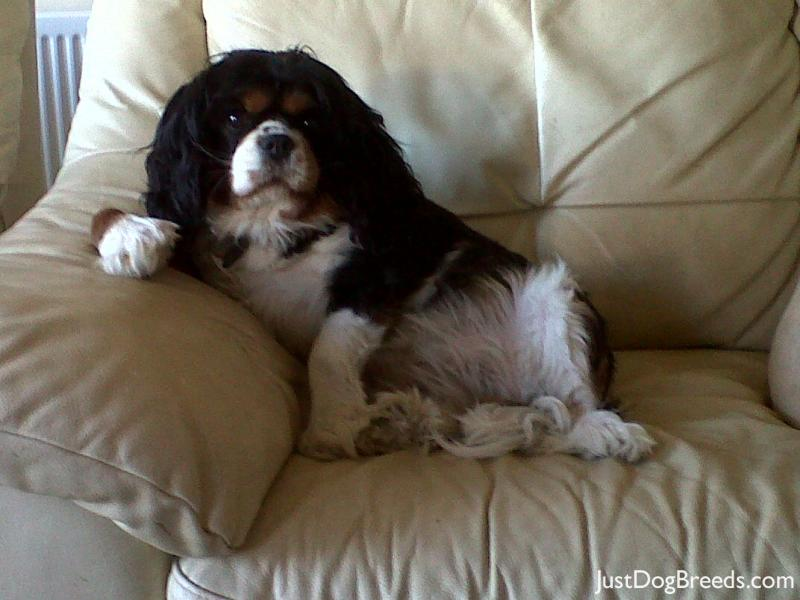 Related Pictures buddy king the cavalier king charles spaniel dog ...