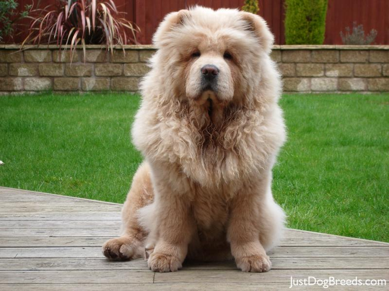Chow Chow Good Dogs