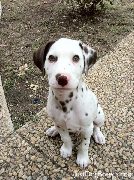 Dillon Dalmatian Dog Breeds