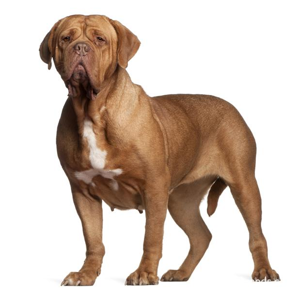 Dogue De Bordeaux2 22 Jpg Dogue De Bordeaux Dog Breeds