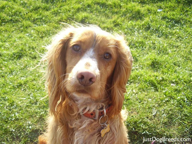 Fudge Field Spaniel Dog Breeds
