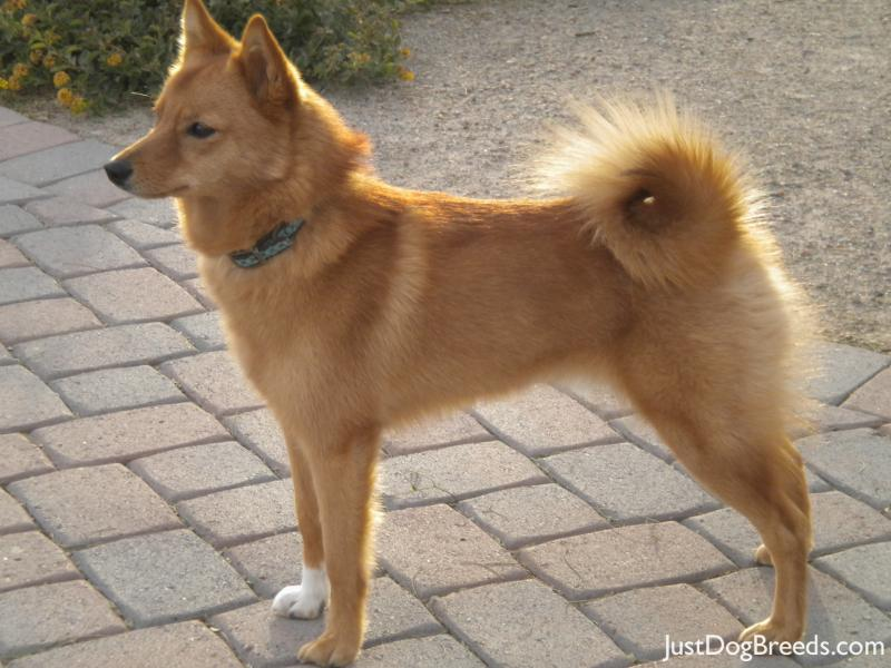 Ginger - Finnish Spitz - Dog Breeds