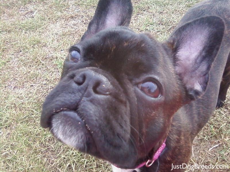Tootzie - French Bulldog - Dog Breeds