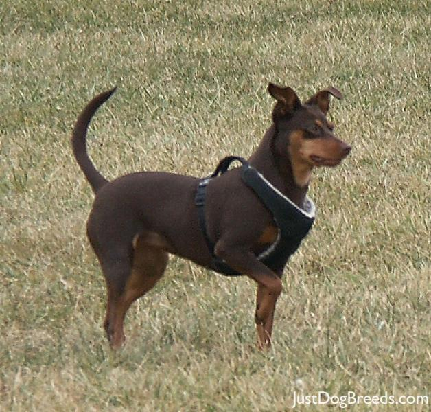 List Of Large German Dogs