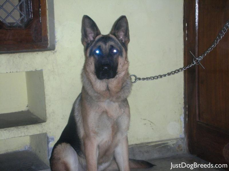 Is A German Shepherd A Large Breed Dog
