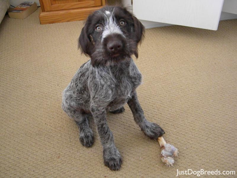 Large Wirehaired Dog Breeds | Dog Breeds Picture