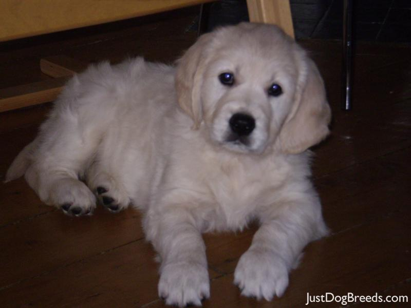 List Of Large Hypoallergenic Dogs With Pictures