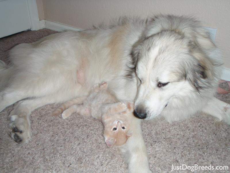 Great Pyrenees Dog Breed Information