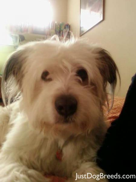 Breed: Havanese
