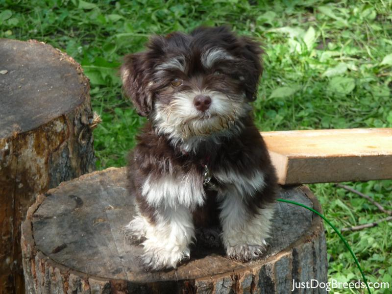 Chocolate Chip - Havanese - Dog Breeds