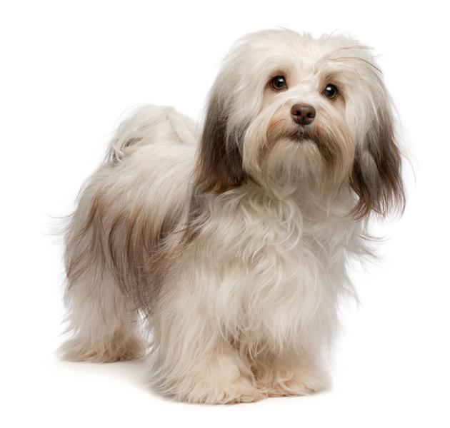 Havanese 22 1 on dog pages