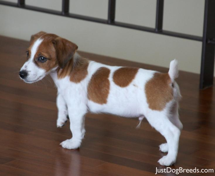Spencer Jack Russell Terrier Dog Breeds