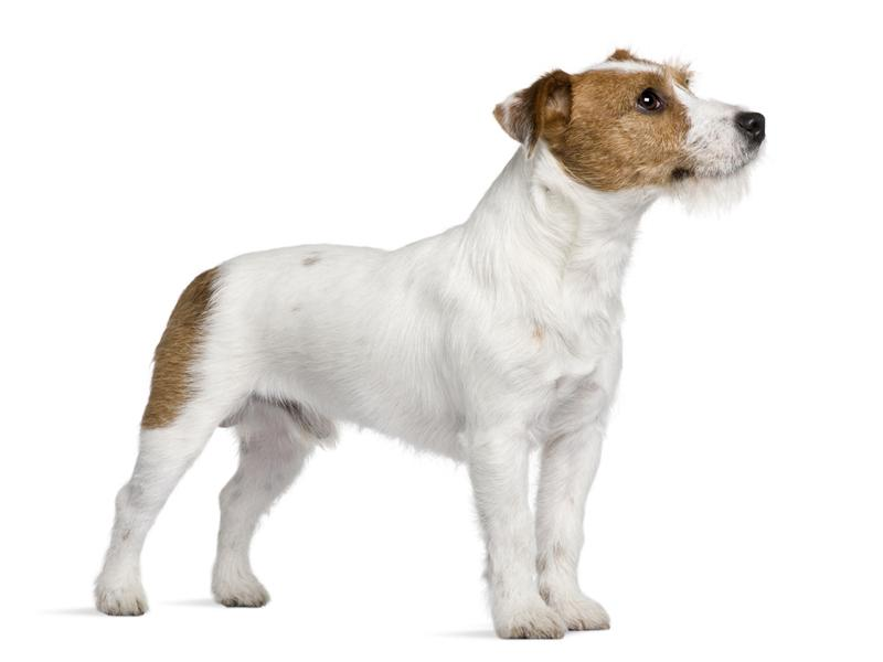 Jack Russell Terrier Just Dog Breeds