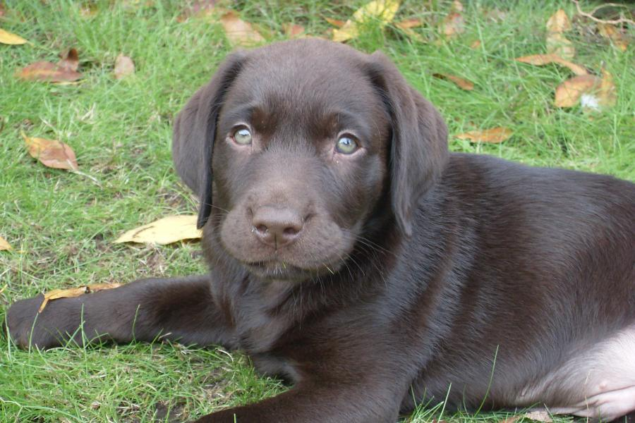 Archie - Labrador Retriever - Dog Breeds