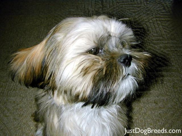 Photo Of Alpa Lhasa Dogs Lhasa Apso | Dog Breeds Picture