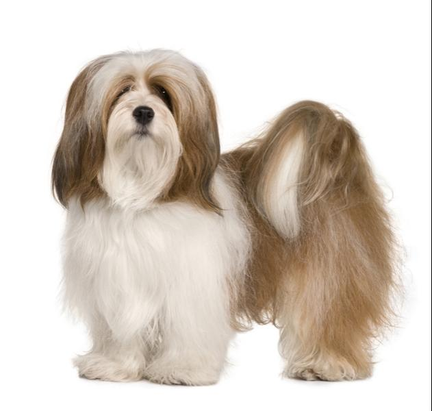 Hypoallergenic Guard Dog Breeds