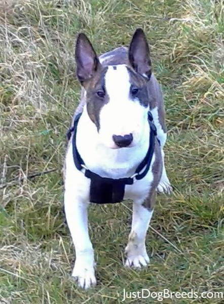 LADY - Miniature Bull Terrier - Dog Breeds