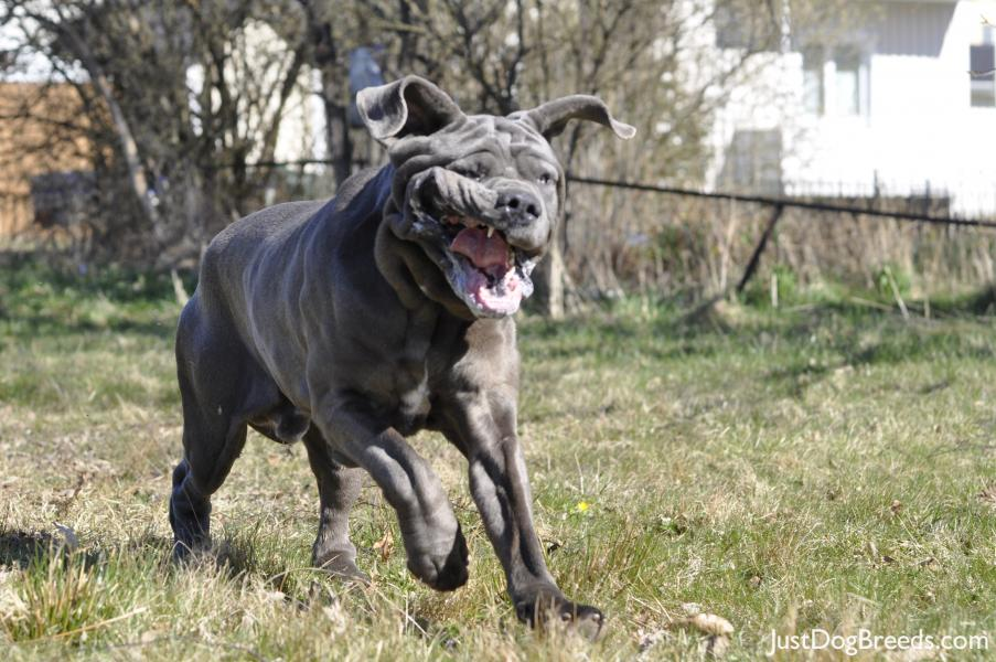 Kalle - Neapolitan Mastiff - Dog Breeds