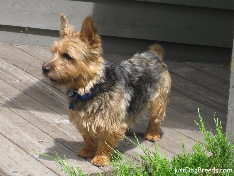 Mac - Norwich Terrier - Dog Breeds
