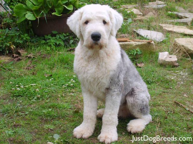 Old English Sheepdog Price Doudou - Old English S...