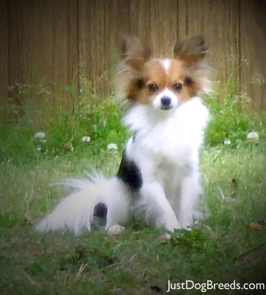 Alley - Papillon - Dog Breeds