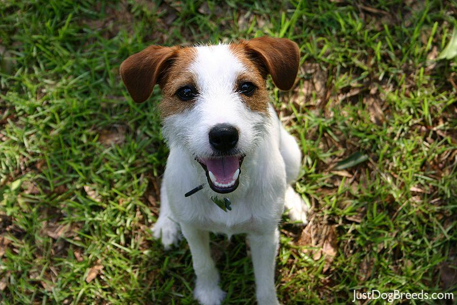 oliver   parson russell terrier   dog breeds