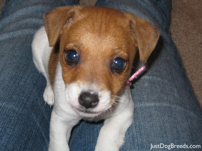 Related Pictures dog breeds list parson russell terrier pictures