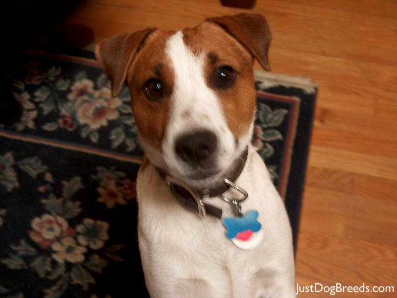 Jackson Parson Russell Terrier Dog Breeds